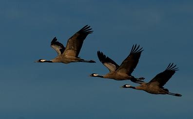 La OMS avisa de que la gripe aviar se puede propagar en Europa por la migración de las aves