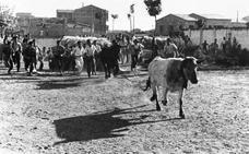 La Retina: Encierro de vacas por Calahorra