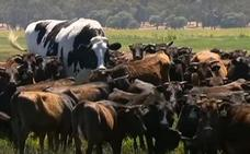 Knickers, la vaca más grande de Australia