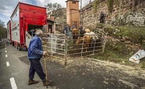 Ya se van las vacas de la sierra riojana a la Extremadura