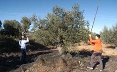 La DOP Aceite de La Rioja espera llegar a los 4,15 millones de kilos del año pasado