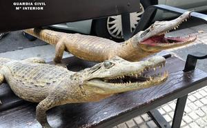 Incautados un cocodrilo, un caimán, dos alcatraces y una gacela disecados en Logroño