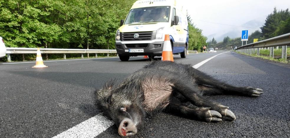 Jabalíes y corzos provocan un accidente de tráfico diario en las carreteras riojanas