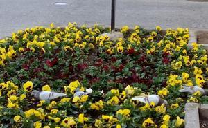 La Guindilla: flores que desaparecen en Calahorra