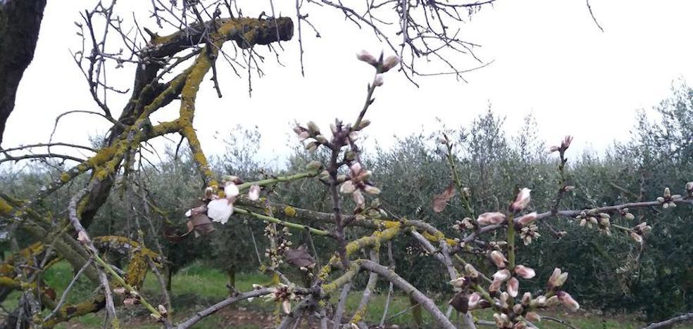 La primera flor de almendro de Logroño (o así)