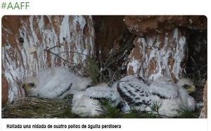Hallan una nidada de cuatro pollos de águila perdicera en el Valle del Cidacos