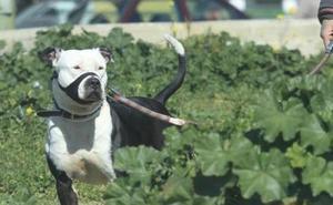 Detenidos un tío y un sobrino por atracar a jóvenes usando perros de raza peligrosa en Madrid