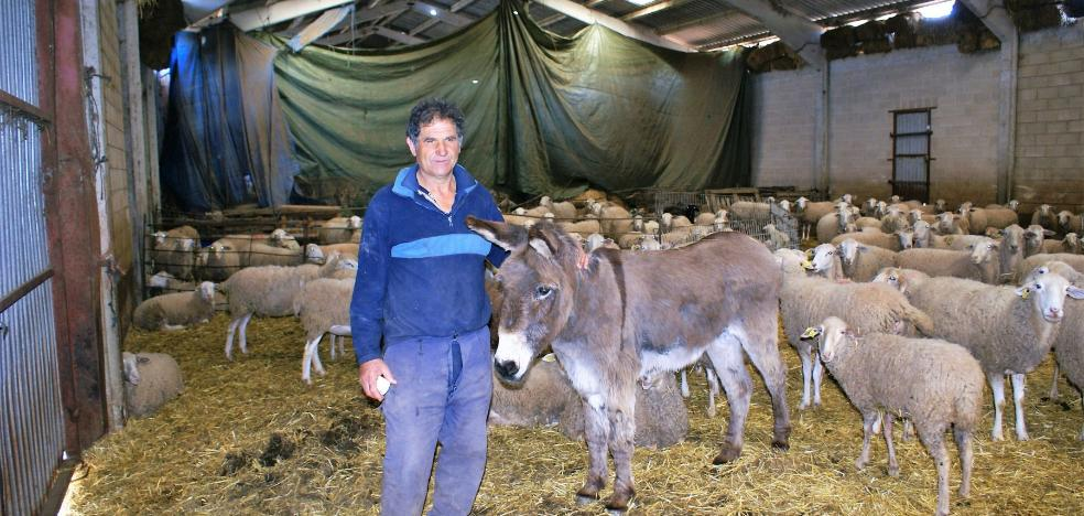 Cansado de pastorear sus ovejas