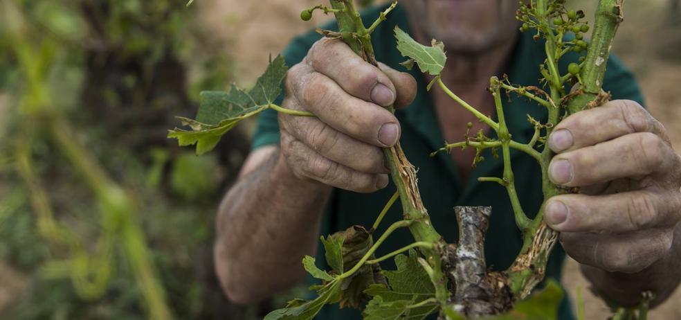 Casi el 30% del viñedo riojano sufre los efectos del pedrisco y las heladas los dos últimos años