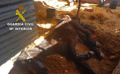 Denunciado el dueño de un caballo por dejarlo morir de hambre y sed
