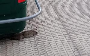 La Guindilla: una rata en la acera de avenida de Madrid