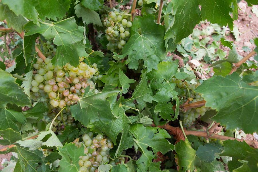 UPA denuncia que los cultivos de La Rioja Alta peligran por la falta de riego del Canal de Mansilla