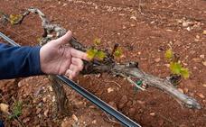 El riesgo de heladas y la sequía mantiene en vilo a los viticultores
