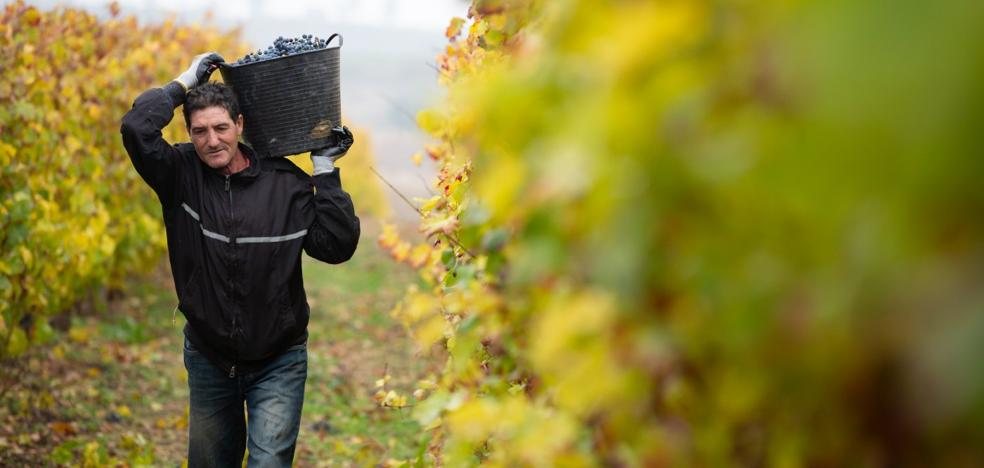 El Consejo Regulador calificará mañana como 'buena' la cosecha de Rioja del 2018