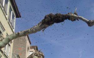 Retiran un enjambre de abejas del Espolón de Santo Domingo