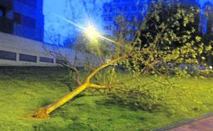 La Guindilla: un árbol caído en la calle Holanda