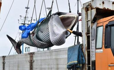 Los balleneros japoneses vuelven a cazar cetáceos con fines comerciales