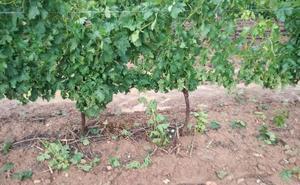 Viñedos, hortalizas y verduras, principales víctimas de las tormentas
