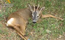 Rescatada una cría de corzo herida de bala en el Carrascal de Villarroya