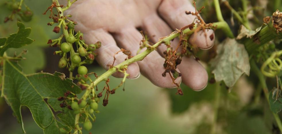 3.350 hectáreas dañadas por pedrisco, 2.640 de ellas de viña