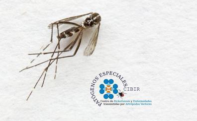 Sin noticias, todavía, del temible mosquito tigre en la comunidad