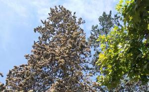 Árbol enfermo en la plaza de El Espolón