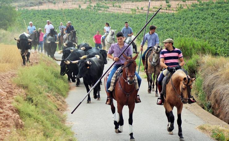 Bajada de las vacas en las fiestas de la Virgen y San Roque de Navarrete