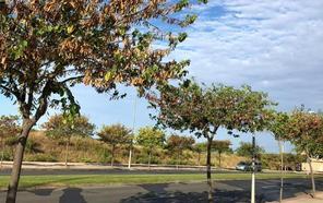 La Guindilla: los árboles «secos» de la calle Serradero