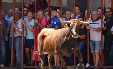 En Igea se divierten con las vacas