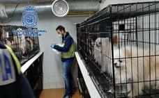 La Policía desmantela en Madrid dos criaderos ilegales de chihuahuas y rescata a 270 perros