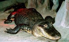 Muere 'Saturno', el caimán que sobrevivió a la II Guerra Mundial