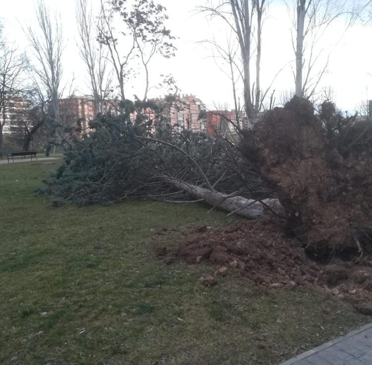 El viento tumba numerosos árboles en Logroño