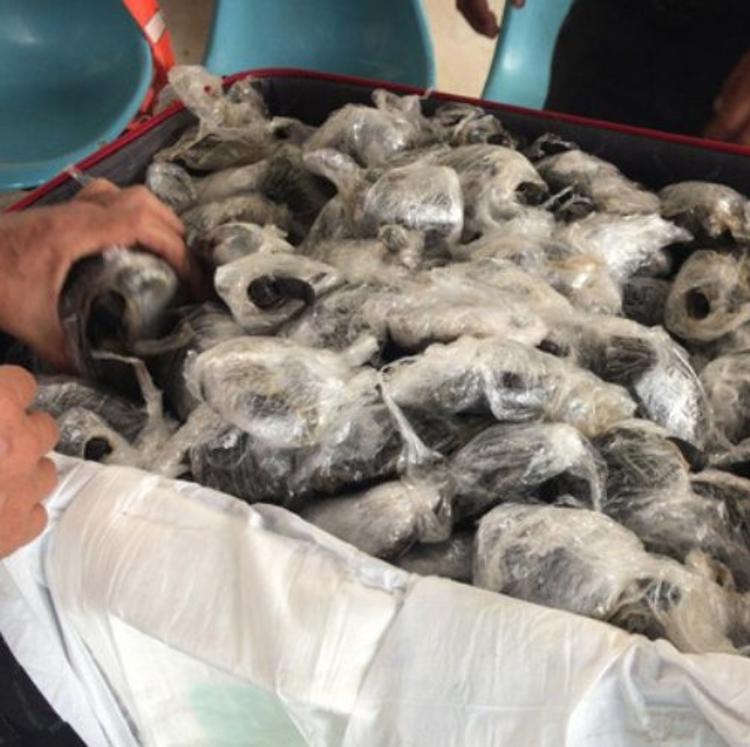 Hallan 185 crías de tortugas gigantes en varias maletas en Ecuador