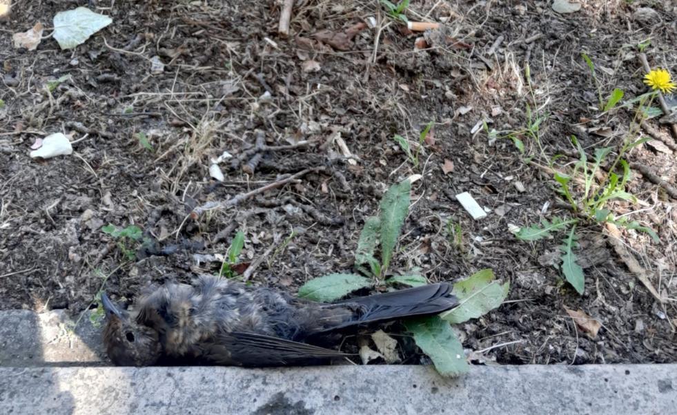 Pájaros muertos y «en descomposición» en Logroño