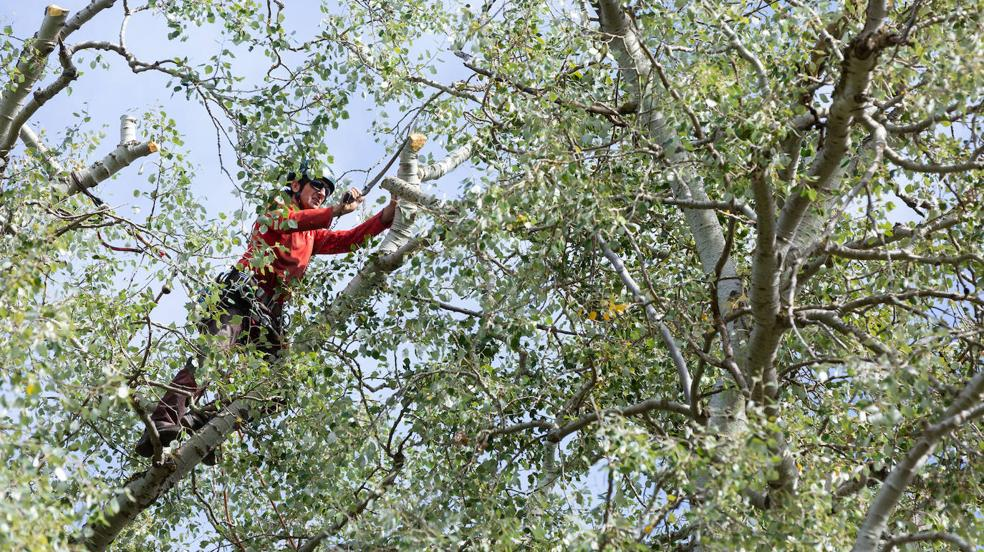 Logroño sanea la masa arbórea de La Grajera