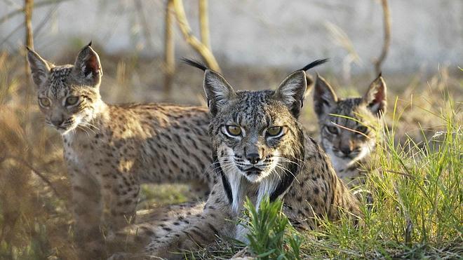 El atropello de un nuevo lince desata la indignación entre los ecologistas