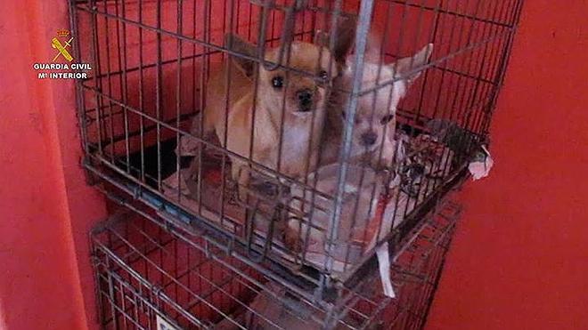 La Guardia Civil interviene 400 cachorros de perro en diciembre