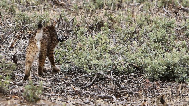 Muere un lince ibérico atropellado en una carretera del entorno de Doñana