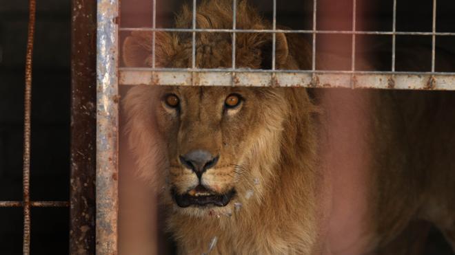 Salvar a Simba, el león de Mosul