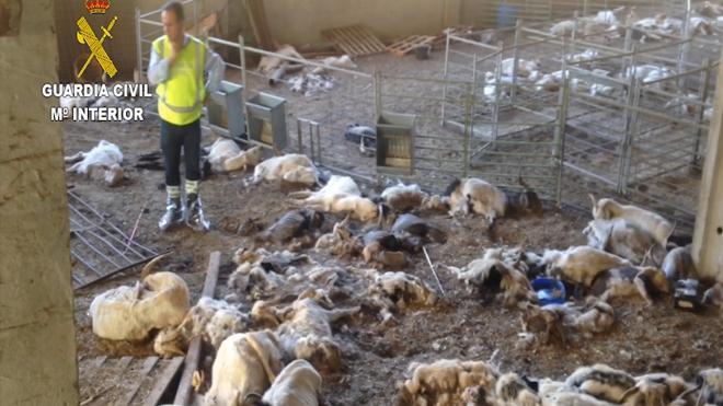 Detenida una ganadera por dejar morir de inanición a cerca de 350 cabras