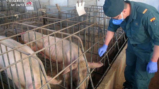 Detenido el propietario de una granja en Murcia por abandonar más de un centenar de cerdos